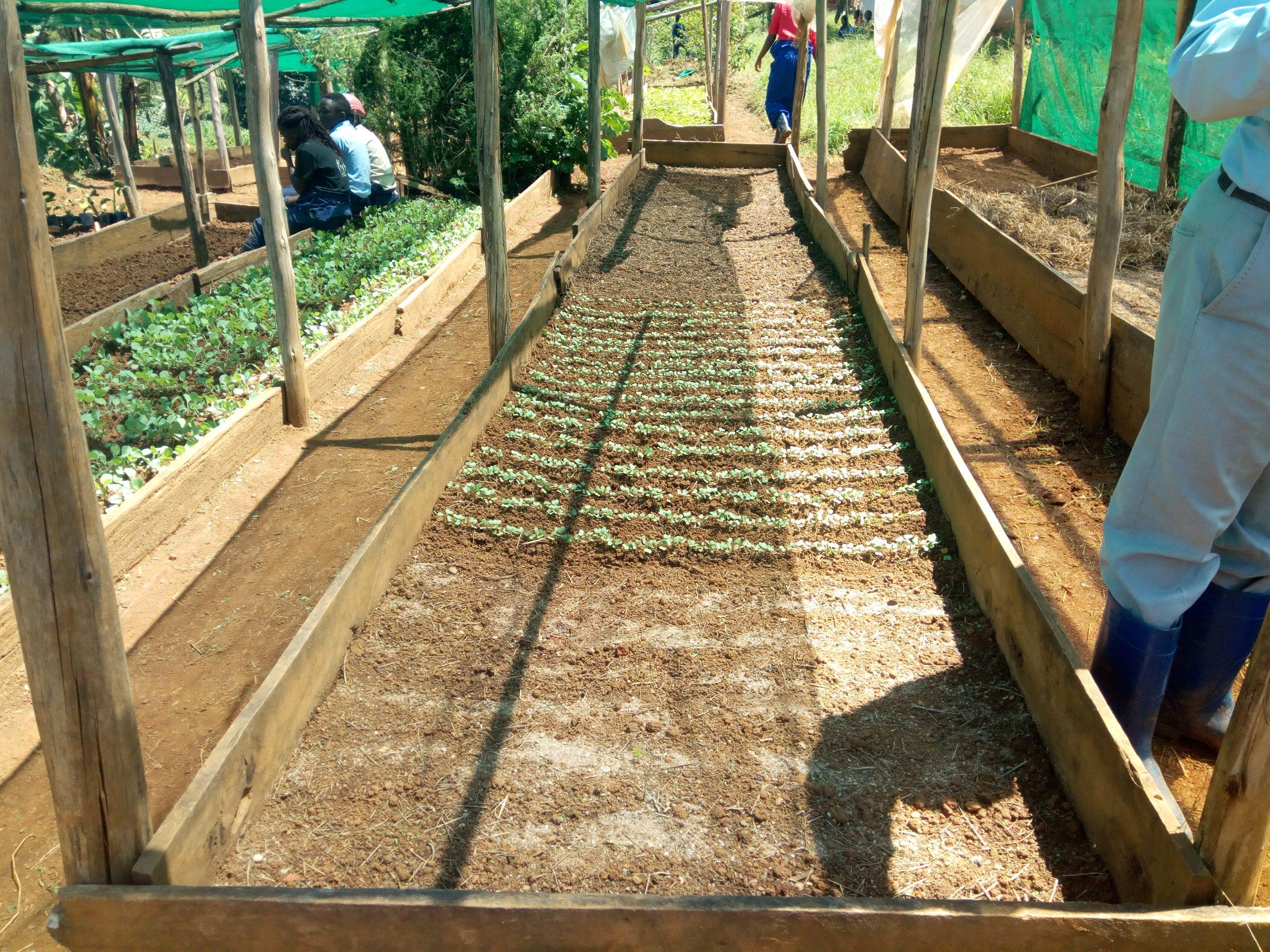 Nord-Kivu : La faculté d'agronomie de l'Université Catholique du Graben se fixe  le défi de produire 50 milles plantules d'Artemisia
