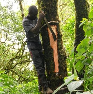 Nord-Kivu : Prunus Africana (Ngote ),  une espèce menacée, très prisée pour ses vertus médicinales,   «  Msc Ir Sorel Wasukundi »