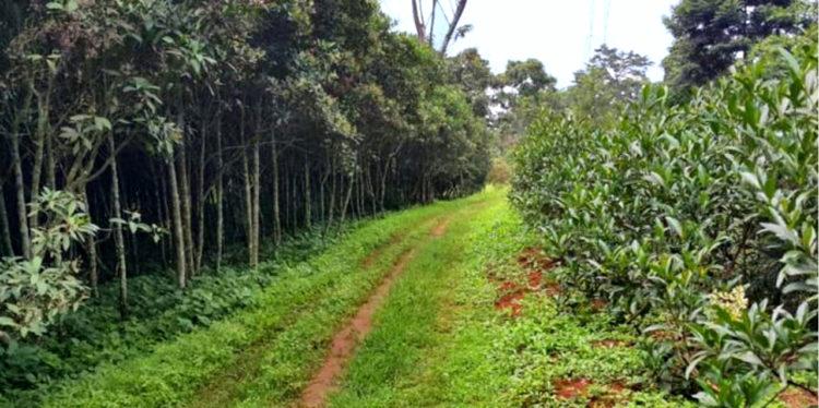 Nord-Kivu/Lubero : des miliciens instaurent une taxe de 50 dollars par hectare pour accéder à une plantation de quinquinas et cacaos