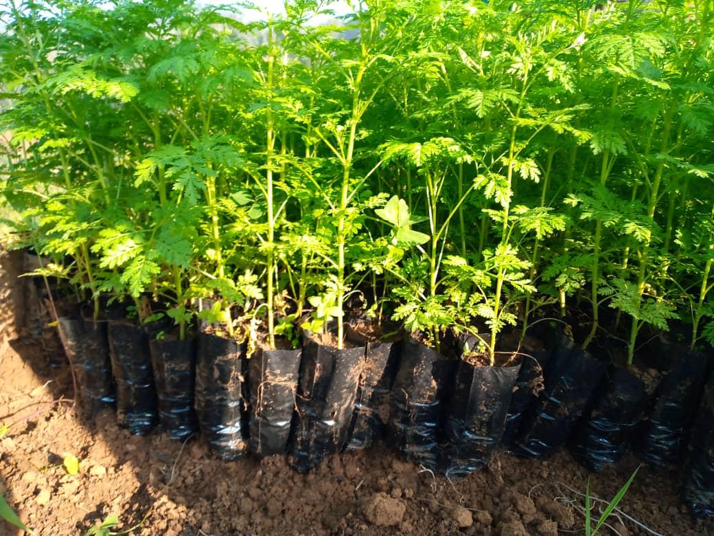 Culture d'artémisia : la faculté des sciences agronomiques de l'UCG passe à la phase des distributions des plantules aux agriculteurs