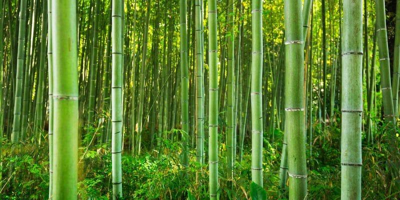 Nord-Kivu : Norbert Ndavaro, chercheur  de l'Université Catholique du Graben alerte l'UICN des menaces de disparition d'une espèce de bambou