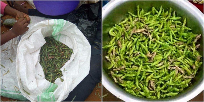 Butembo : Pourquoi  les femmes et les enfants étaient exclues de la table quand on devait manger les sauterelles ? (Réponse d'un ethno sociologue)